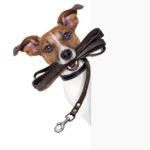 Dog,with,leather,leash,waiting,to,go,walk